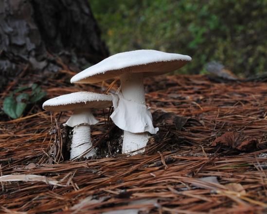 White mushrooms with skirts 8X10