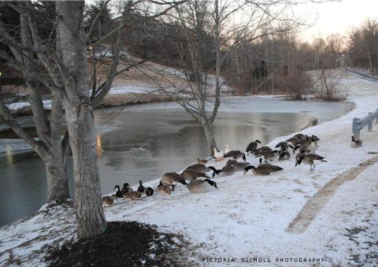 Canada Geese Enjoying Seed and Sharing