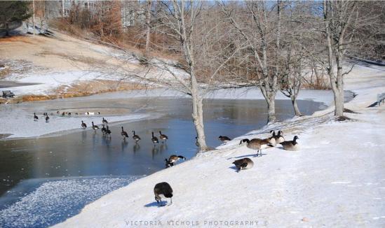 Canada Geese Stroll Across Frozen Pond in Nashville TN