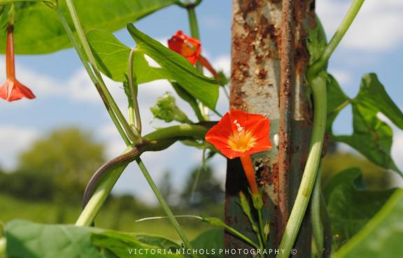 Wild Orange Morning Glories Copyright 3X5