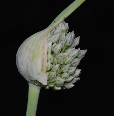 Field Galic Flower Pod Opens