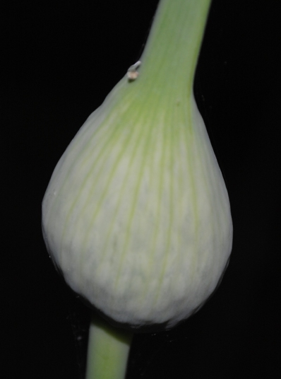 Field Garlic Flower Pod.1