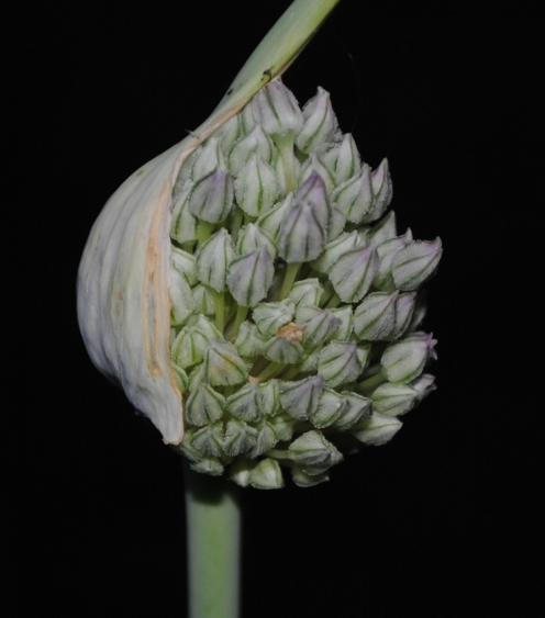 Field Garlic - Open Flower Pod (purple tinge)